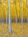 Poplar Plantation in Autumn  Near Irrigon  Oregon  Usa