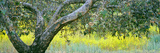 Sycamore Tree in Mustard Field  San Clemente Canyon  San Diego County  California  Usa
