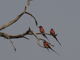Carmine Bee-Eaters (Merops Nubicoides) Perching on a Tree  Linyanti Concession  Ngamiland  Botswana