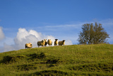 Sheep Near Athenry County Galway  Ireland