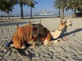 Camel on Beach at Emirates Palace Hotel  Abu Dhabi  United Arab Emirates