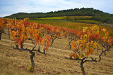 Grapes in a Vineyard Ready for Harvesting  Near Lagrasse  Languedoc-Roussillon  France