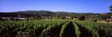 Vineyard  Portoferraio  Island of Elba  Tuscany  Italy