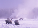 Bison Grazing in the Snow in the Upper Geyser Basin of Yellowstone National Park  Wyoming