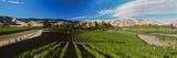 Vineyard  Marlborough Region  South Island  New Zealand