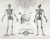 Elegant Skeletons