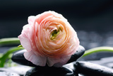 Ranunculus with Therapy Stones