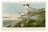 Havell's Tern & Trudeau's Tern