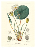 Water Lily (Ninfea Bianca) - Hand Colored Plate