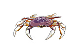 Dungeness Crab - Icon