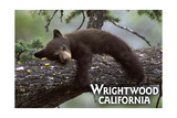 Wrightwood  California - Black Bear in Tree