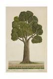 Bur Tree  1800-10