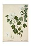 Bauhinia Tomenlosa Linn  1800-10