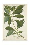 Ecbolium Viride (Farsk) Alston  1800-10