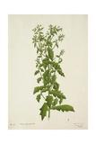 Blumea Laciniata Dc  1800-10