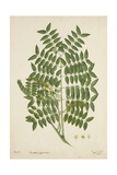 Caesalpinia Jayabo Maza  1800-10