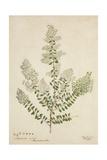 Lawsonia Spinosa  1880-1900