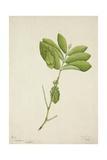 Pulchrifilium Spurifolium  1800-10