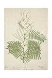 Acacia Suma Kuz  1800-10