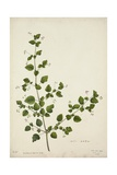 Boerhaavia Repanda Willd  1800-10