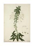 Siphonanthus Indica  1800-10