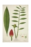 Zinziber Zerumbet Rose  1800-10