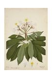 Plumeria Acutifolia Poir  1800-10
