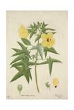 Hibiscus Abelmosehus Linn  1800-10