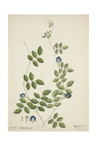 Clitoria Ternatea Linn  1800-10
