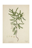 Tamarindus Indica Linn  1800-10