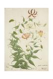 Gloriosa Superba Linn  1800-10