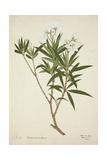 Neriumodorium Soland  1800-10