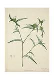 Commelina Persicariafolia Red  1800-10