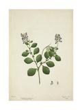 Crotolaria Verrueosa Linn  1800-10