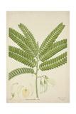 Sesbonia Grandiflora Pers  1800-10