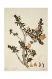 Butea Frondosa Roxb  1800-10