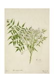 Melia Azedarach Linn  1800-10