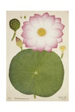 Nelumbium Speciosum Willd  1800-10