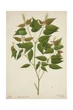 Croton Laccifeus Linn  1800-10