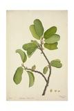 Artocarpus Lakoocha Roxb  1800-10