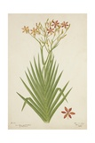Non Indian Garden Plant Of Montbretia  1800-10