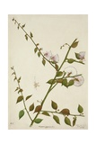 Capparis Zeylanica Linn  1800-10