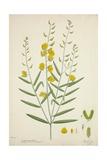Crotalaria Juncea Linn  1800-10