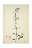 Barleria Prionitis Linn  1800-10
