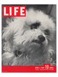 LIFE Glamour Dog Pooch 1944