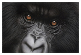 Eyes of Virunga: Mountain Gorilla