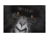 Eyes of Virunga: Mountain Gorilla Reproduction d'art par Charles Alexander