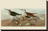 Red Backed Sandpiper