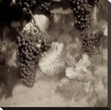 Grapes Sepia 40A