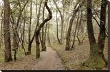 Oak Tree 47